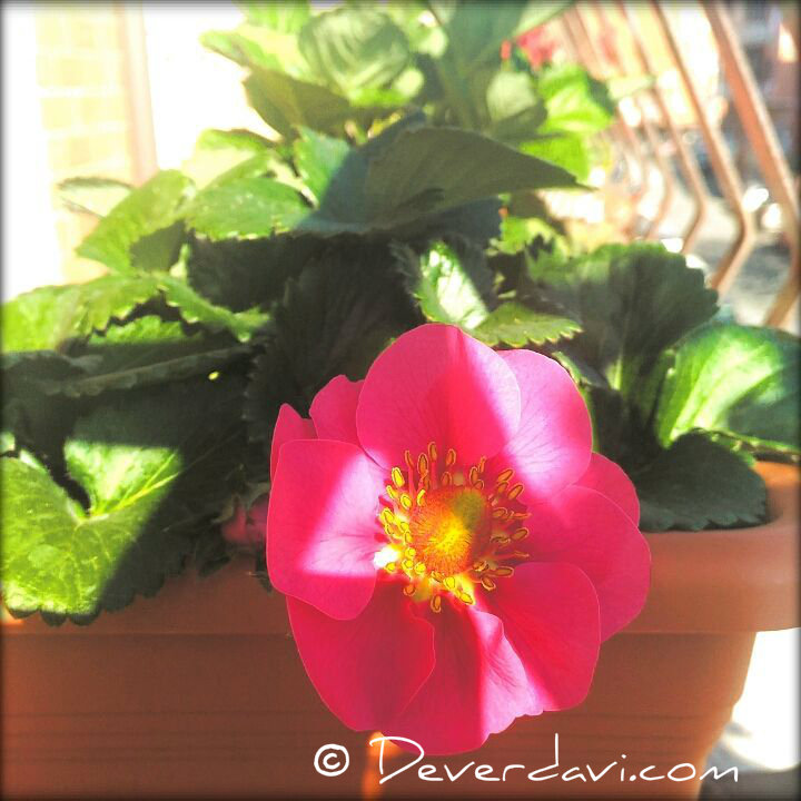 flor-fresa